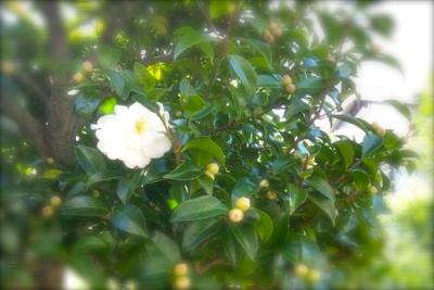 山茶花_600.jpg