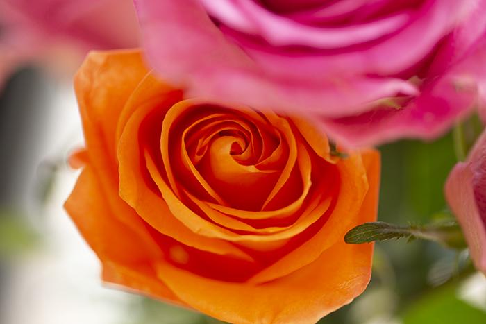 _2541_rose.jpg