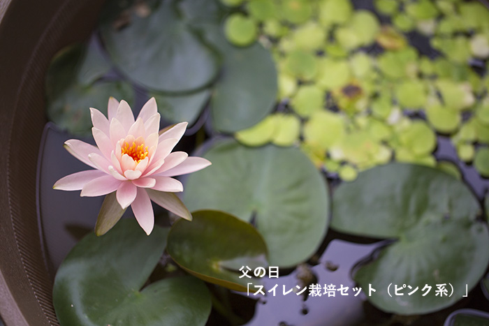 water_lily_9217.jpg